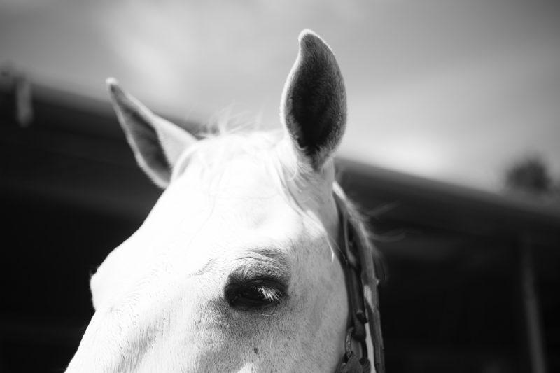 Pferdefotografie Ohren