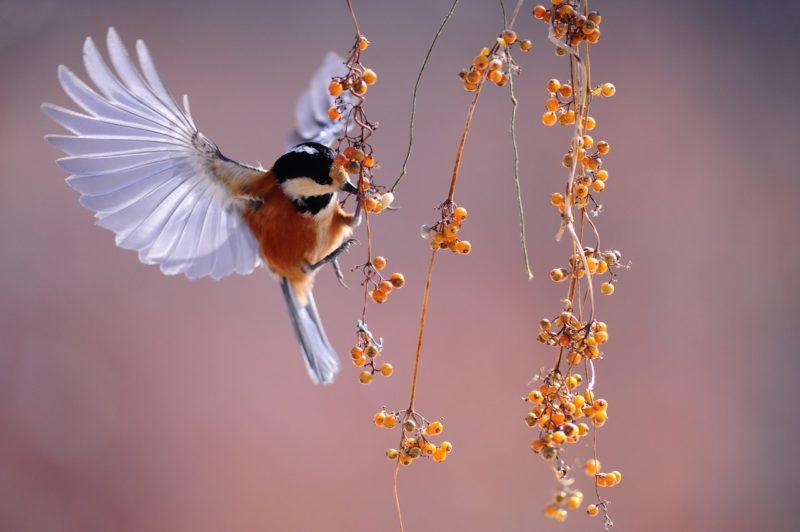 Fotografie Definition - Kolibri schwebt über oranger Frucht