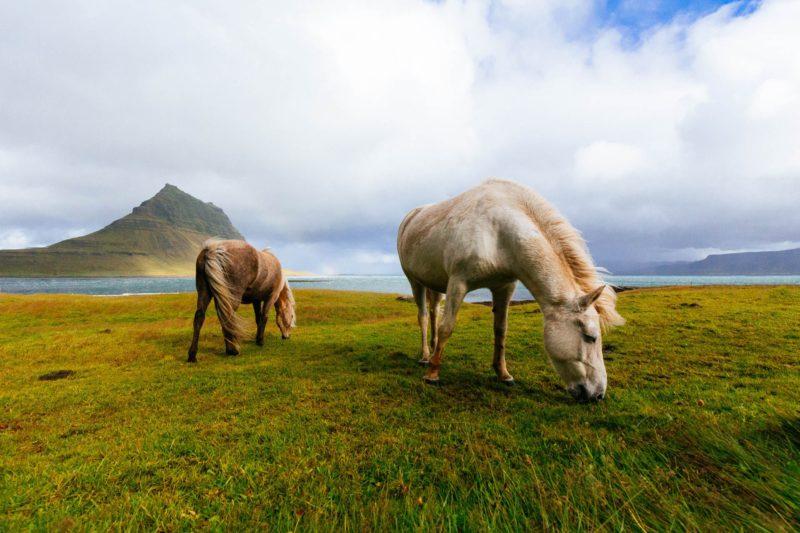 Ponies auf der Weide in Island