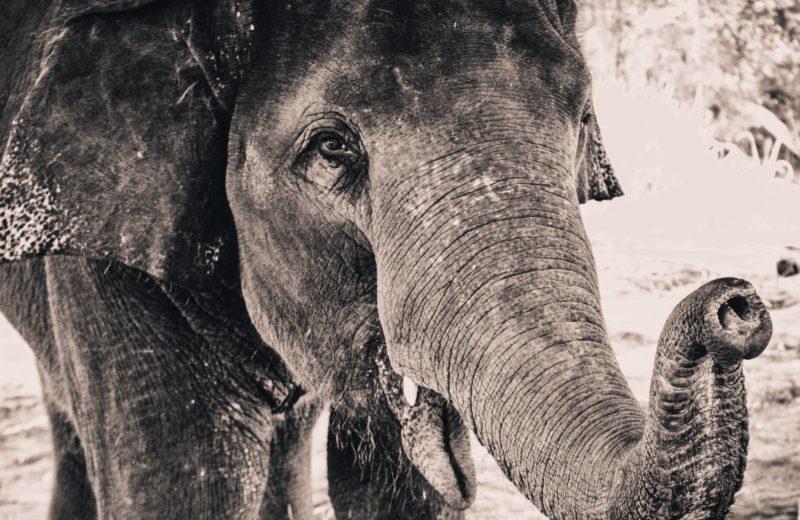 Monochrom Elefant