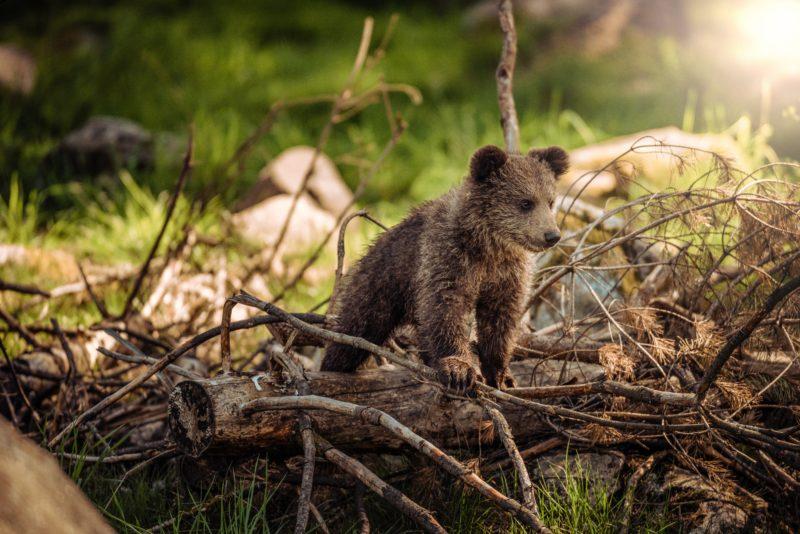 Bär in seiner natürlichen Umgebung