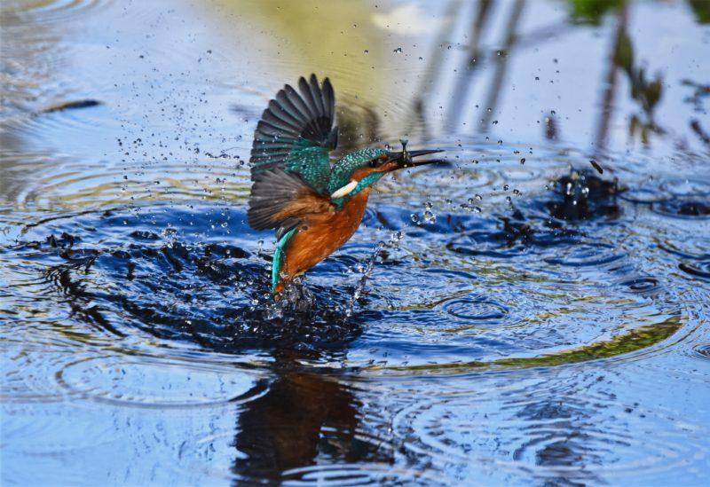 vogel faengt fisch im wasser