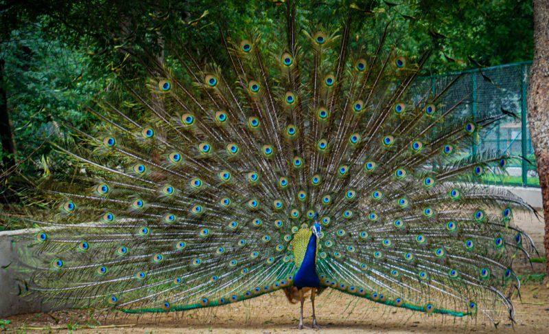vogel fotografie pfau