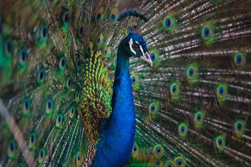 vogel fotogarfie pfau seitliche perspektive