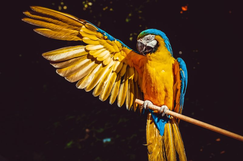 papagei spreizt rechten fluegel