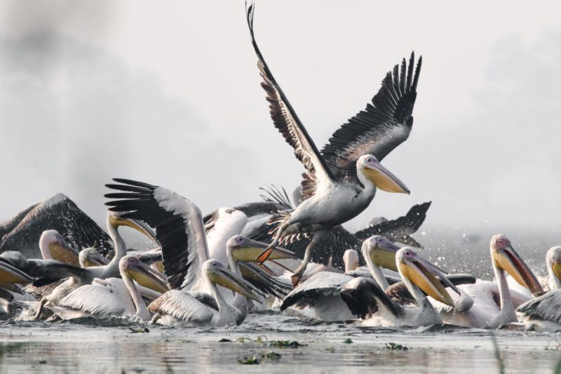 viele pelikane im wasser schwimmend