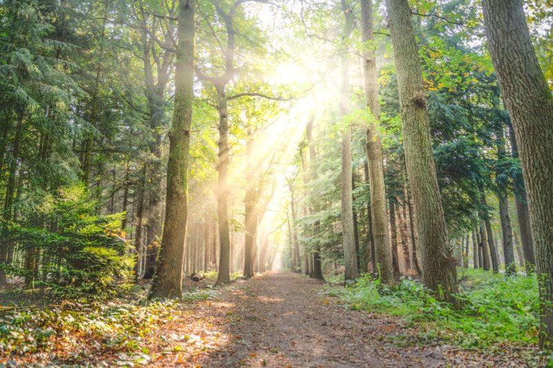 Lichstrahlen im Wald