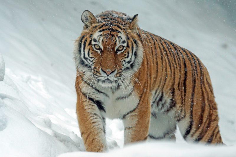 teleobjektiv tiger