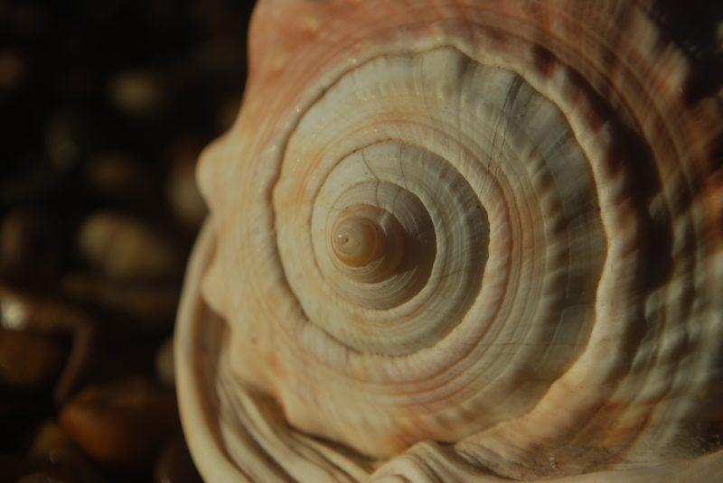 fibonacci spirale muschel