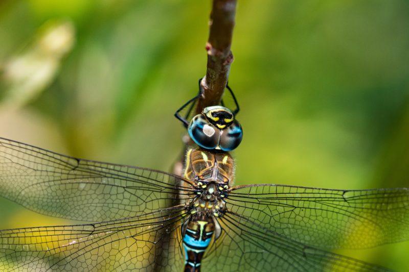 insetenfotografie libelle