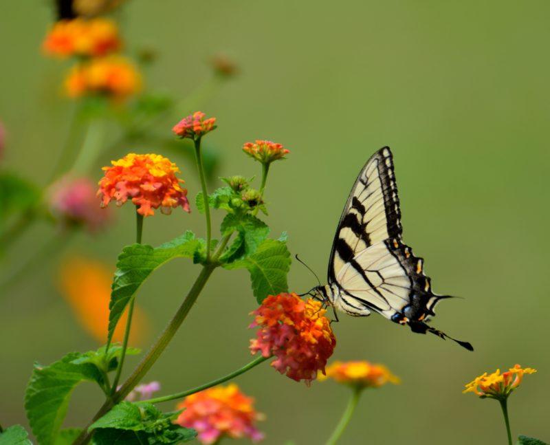 insektenfotografie schmetterling