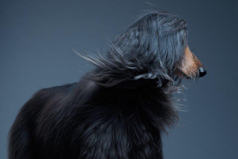 hund wird stehend fotografiert mit wehendem langen fell im gesicht