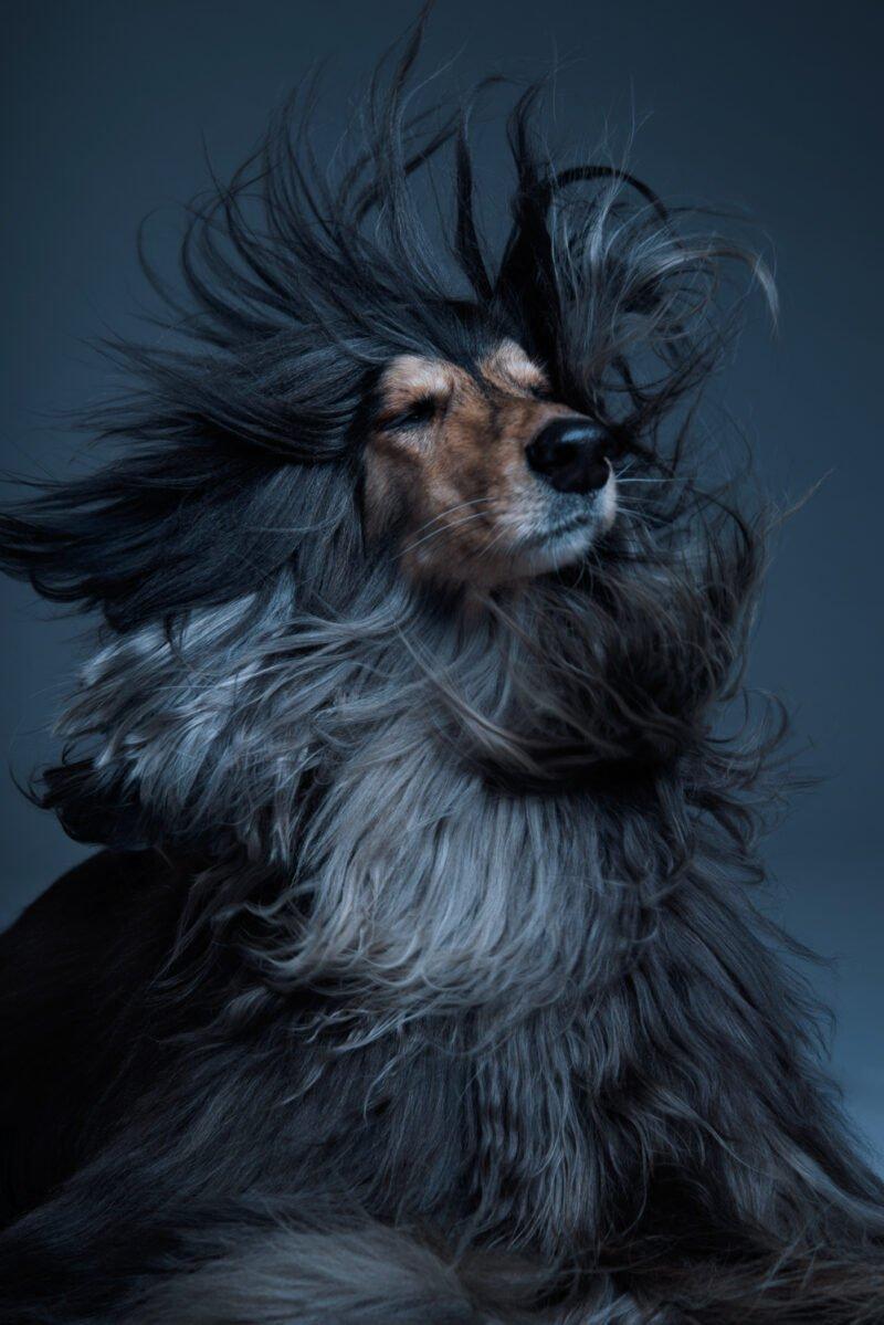 hund mit wehendem fell fotografiert im studio