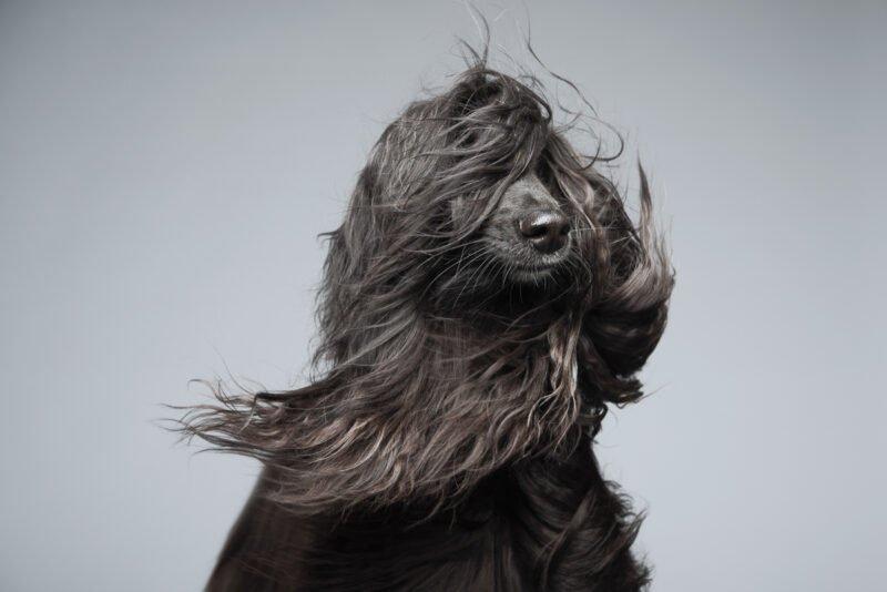 hund mit langen haaren wehend im wind wird in studio fotografiert