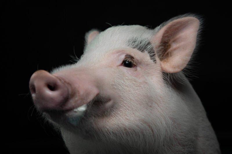 tierfotografie im studio von einem schwein mit schwarzem hintergrund