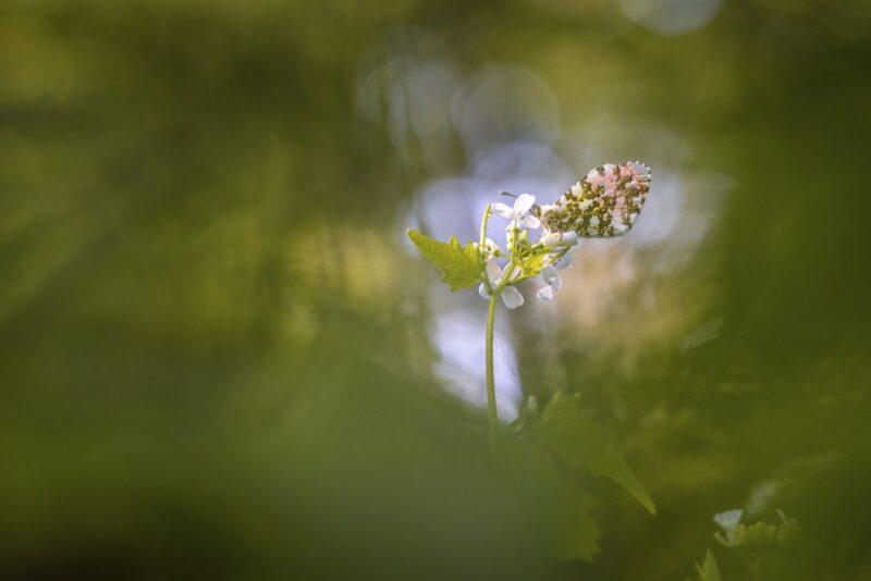 Schmetterlingsfotografie Aurorafalter