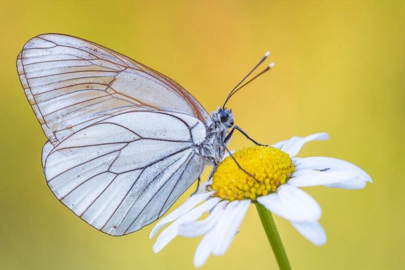 Schmetterlingsfotografie Baumweißling