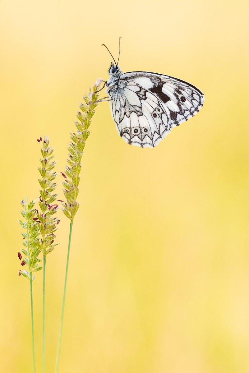 Schmetterlingsfotografie Schachbrettfalter