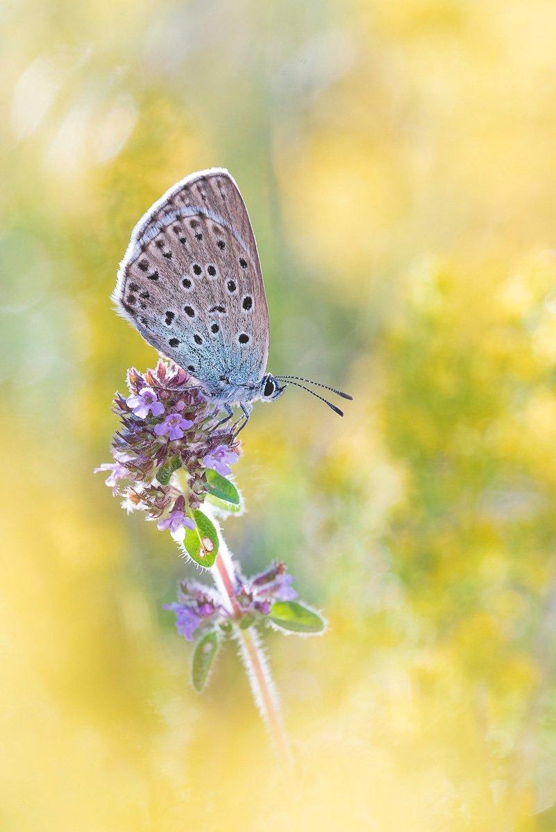 Schmetterlingsfotografie schwarzfleckiger ameisenbläuling
