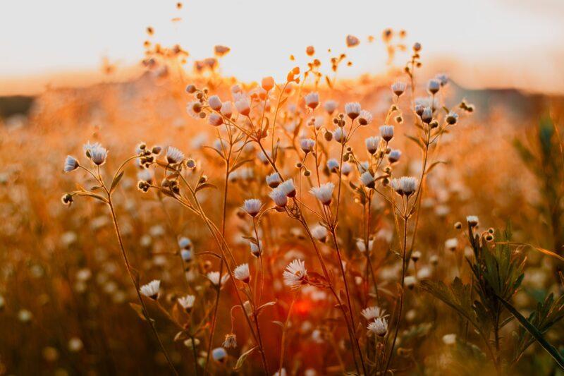 Sonnenuntergang Tiefenunschärfe Blumenwiese